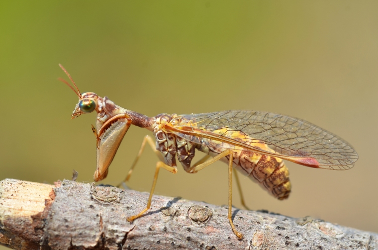 Mantis fly, courtesy of wikipedia