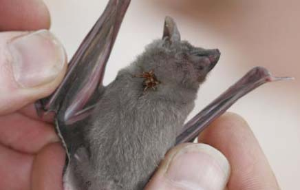 These things are surprisingly large relative to the body size of the bat! source