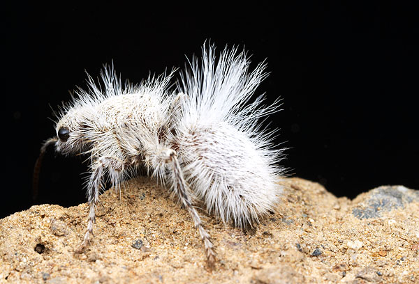 White velvet ant, source