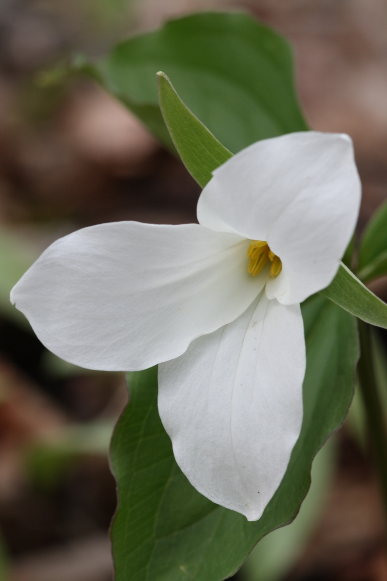 I could take a million Trillium photos