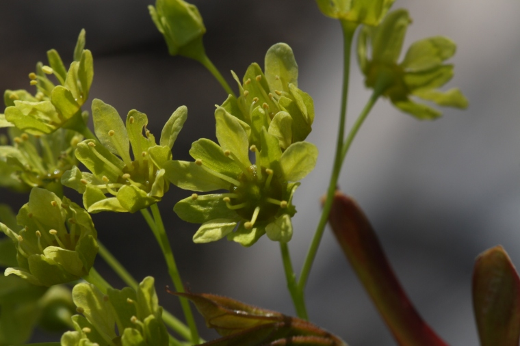 Acer platanoides flowers