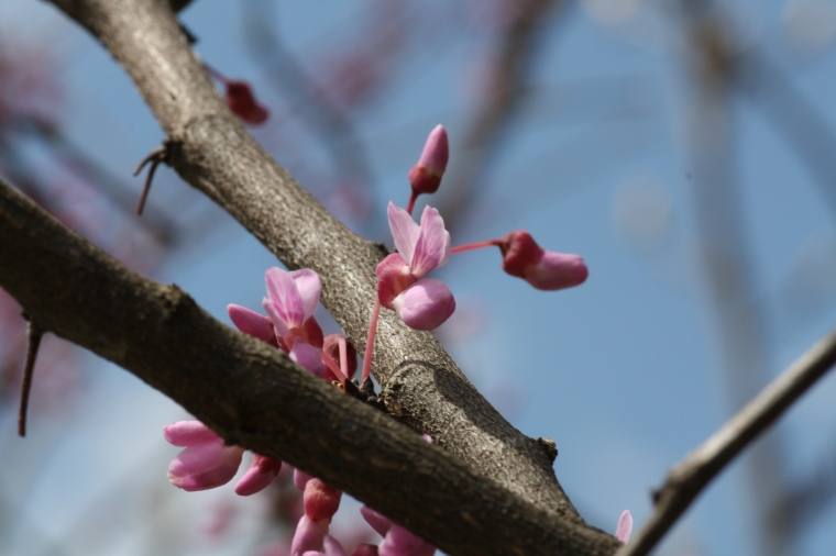 Redbud is in the legume family