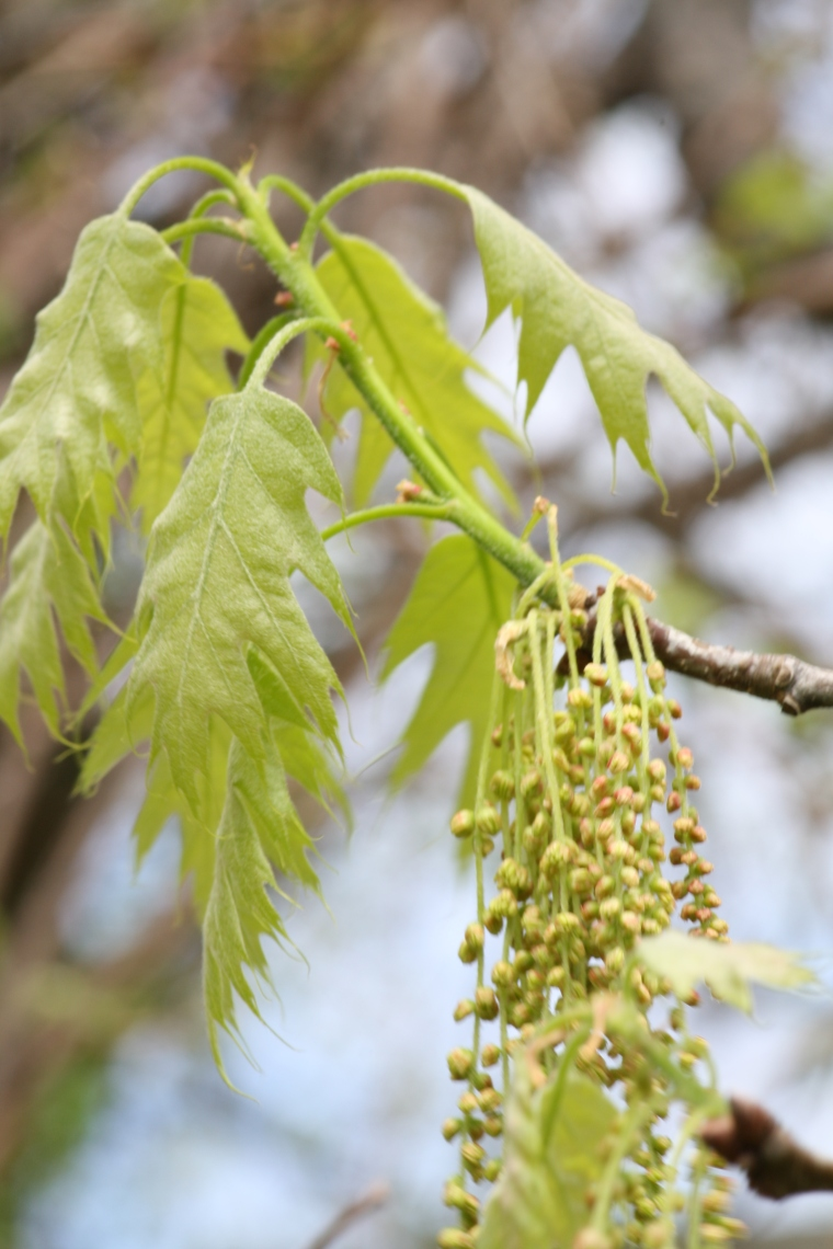 This is what the oak catkins look like