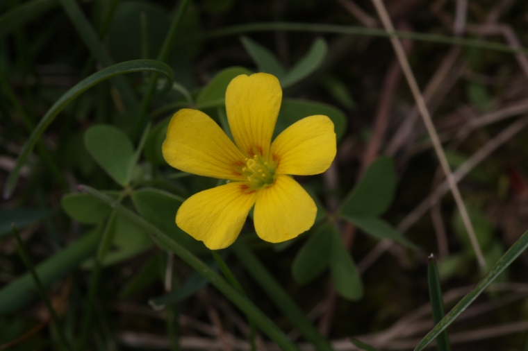 Yellow wood sorrel is delicious
