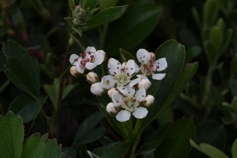 Alpine Rosaceae (Acadia NP)