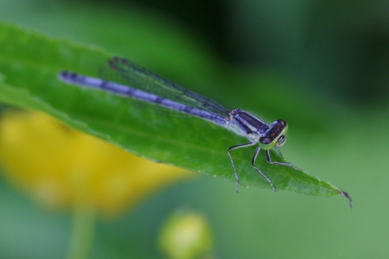 Rhapsody in bluet