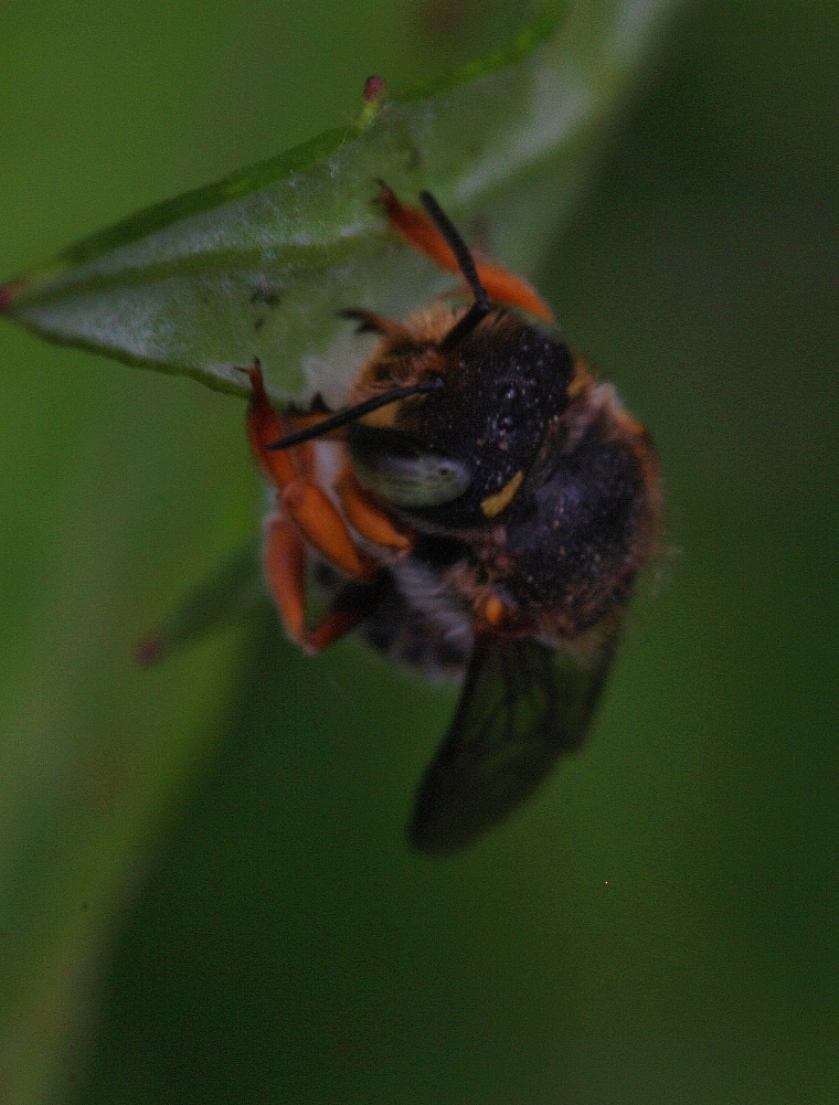 Anthidium oblongatum