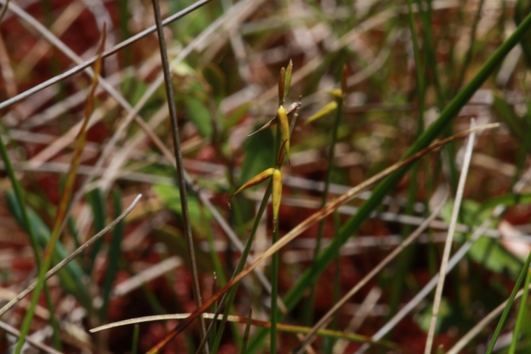 Carex pauciflora...I'm not normally a huge sedge person but this was our guide's favourite plant