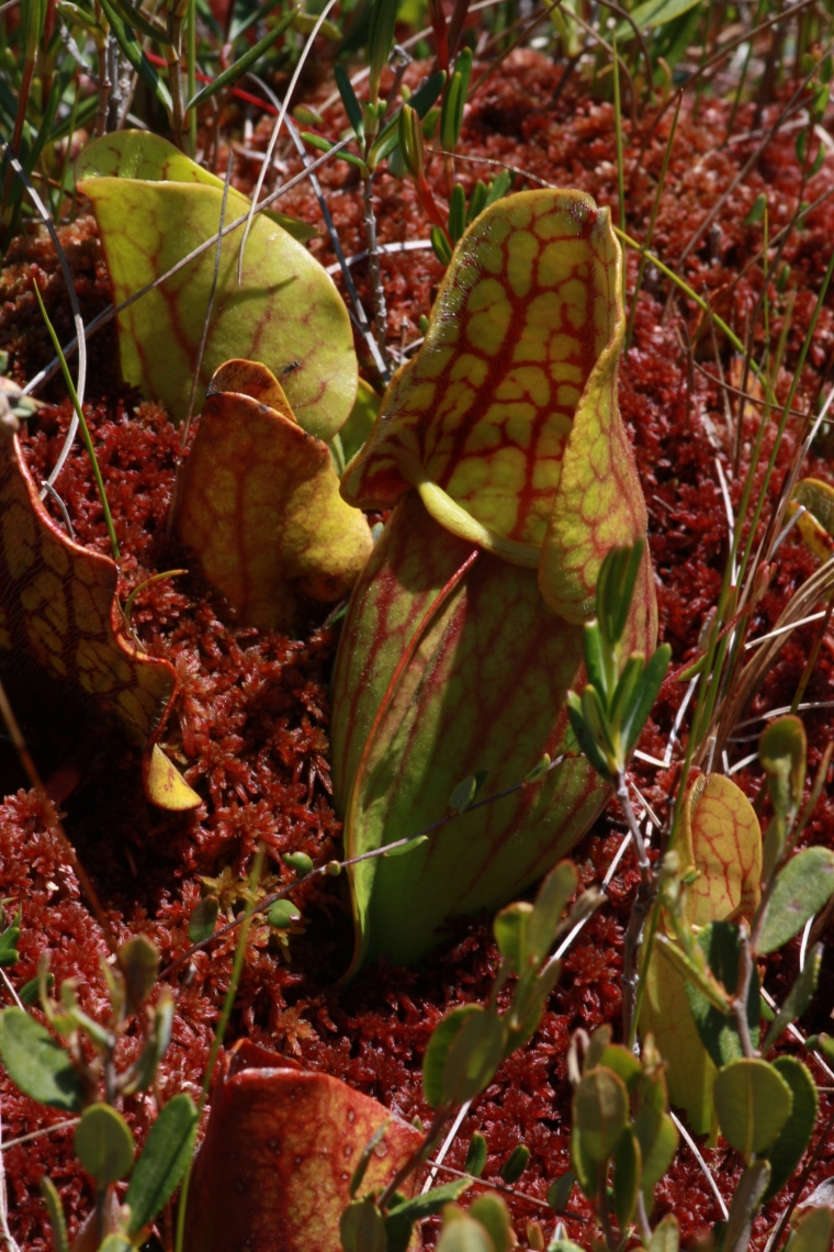 Cool veiny pitcher plants