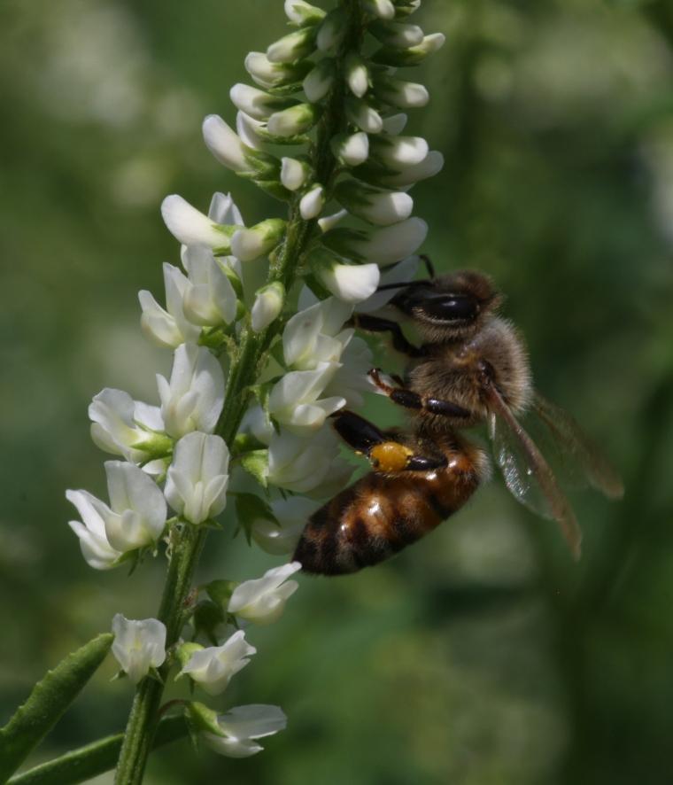 Honeybee on white sweet clover