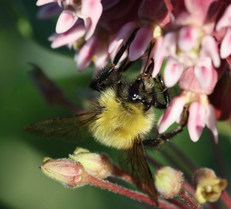 Bombus (perplexus I think) on milkweed