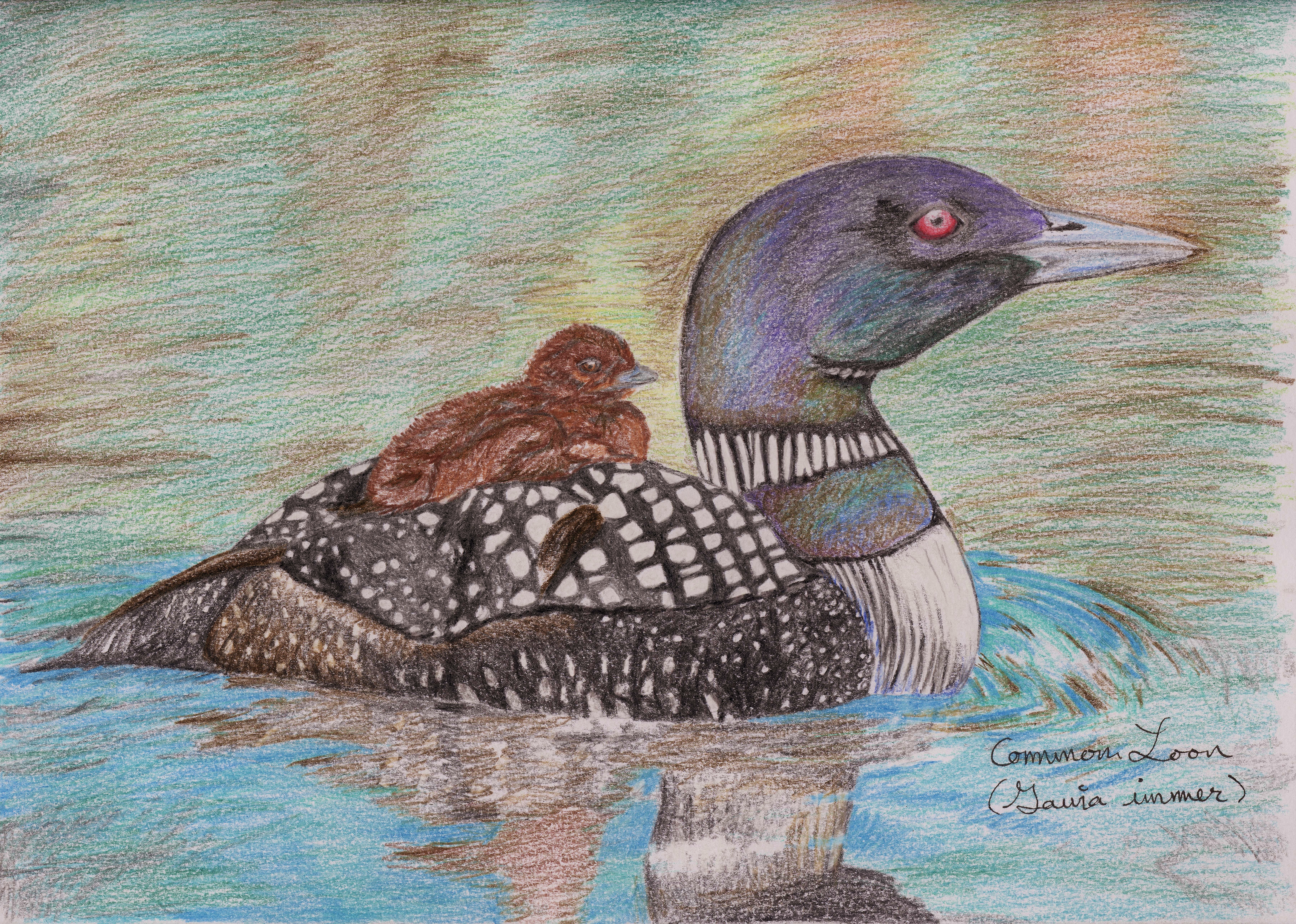 common loon drawing standingoutinmyfield
