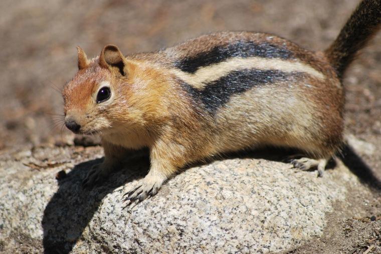 Golden mantled Ground Squirrel (Callospermophilus lateralis)