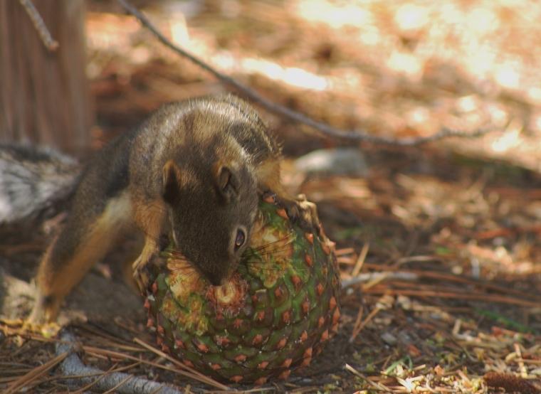 Also known as a Douglas Squirrel