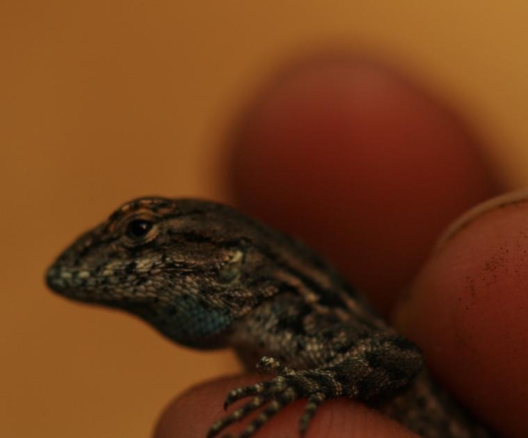 Cute little Western Fence Lizard (Sceloporus occidentalis)
