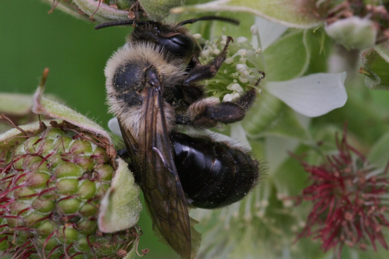 Andrena on raspberry