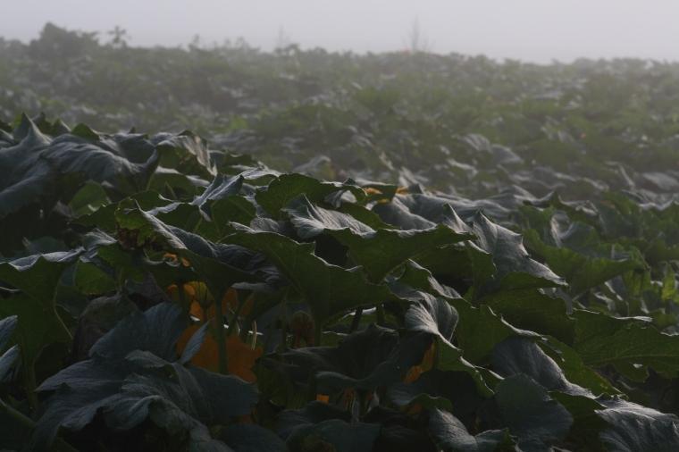 Misty squash fields at dawn