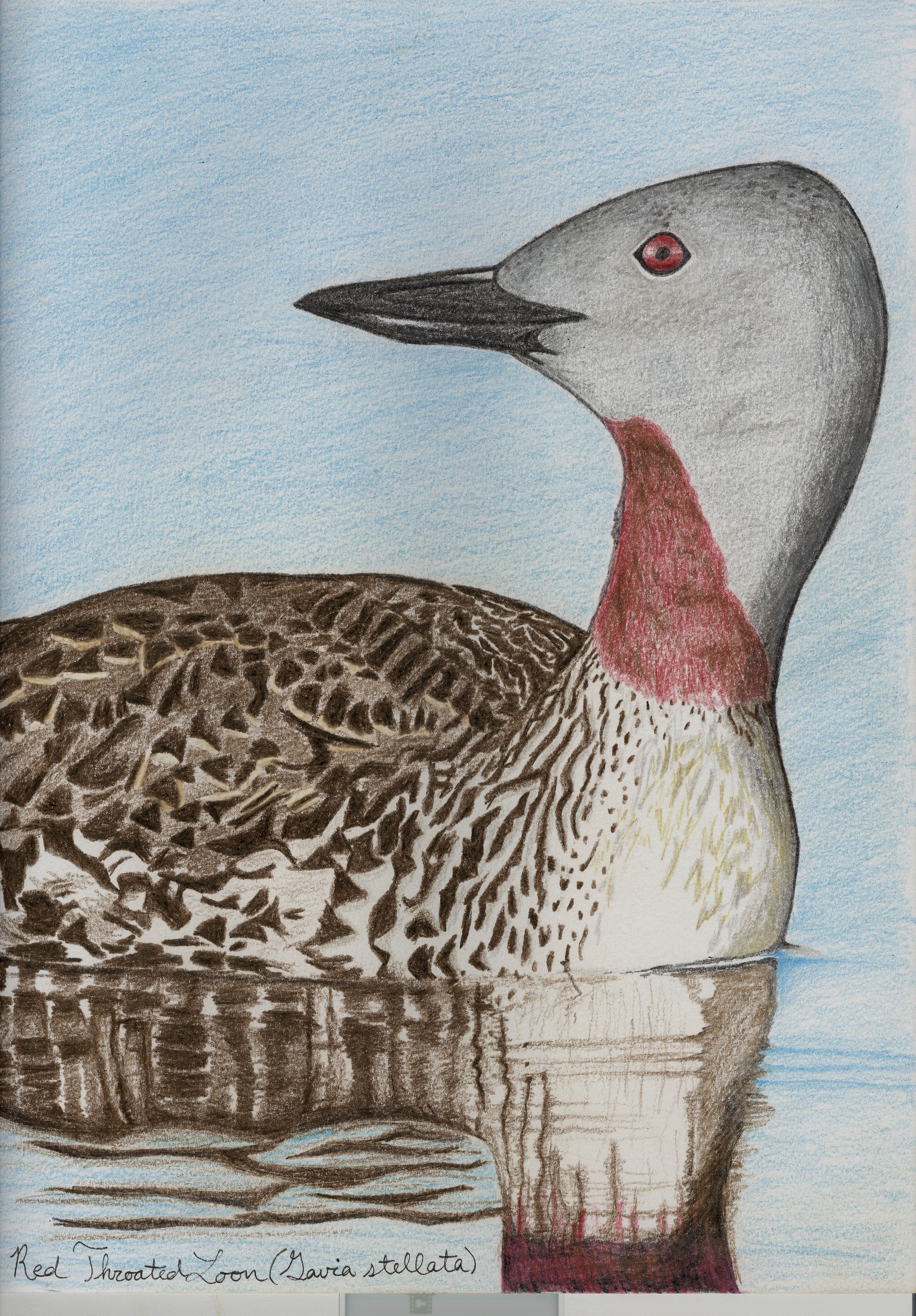red throated loon drawing standingoutinmyfield