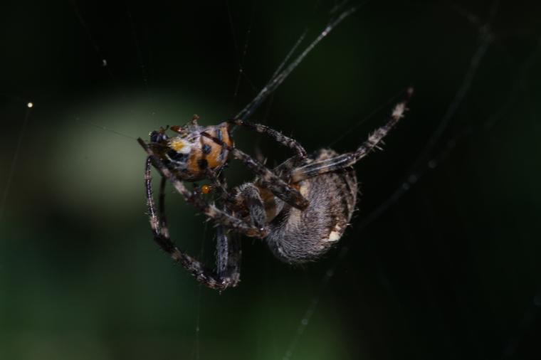 The spider bites her prey