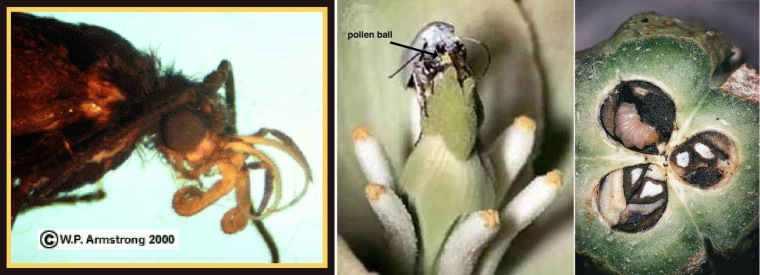 From left to right: Showing the specialized mouthparts of the moth, the ball of pollinaria (clumps of pollen) carried by the moth to the stigma, and a larva eating developing seeds (source)