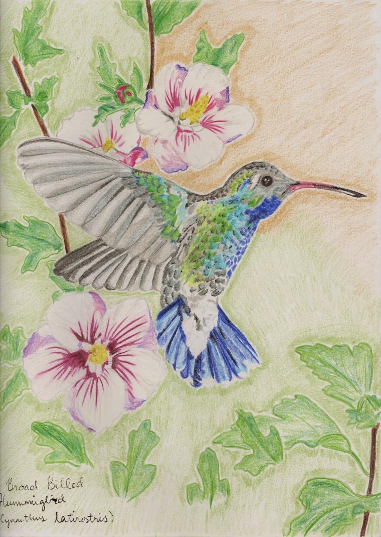 Broad billed hummingbird (Cynanthus latirostris)