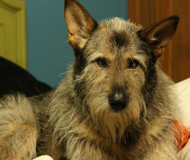 Beethoven (Toven for short) is a wolf hound