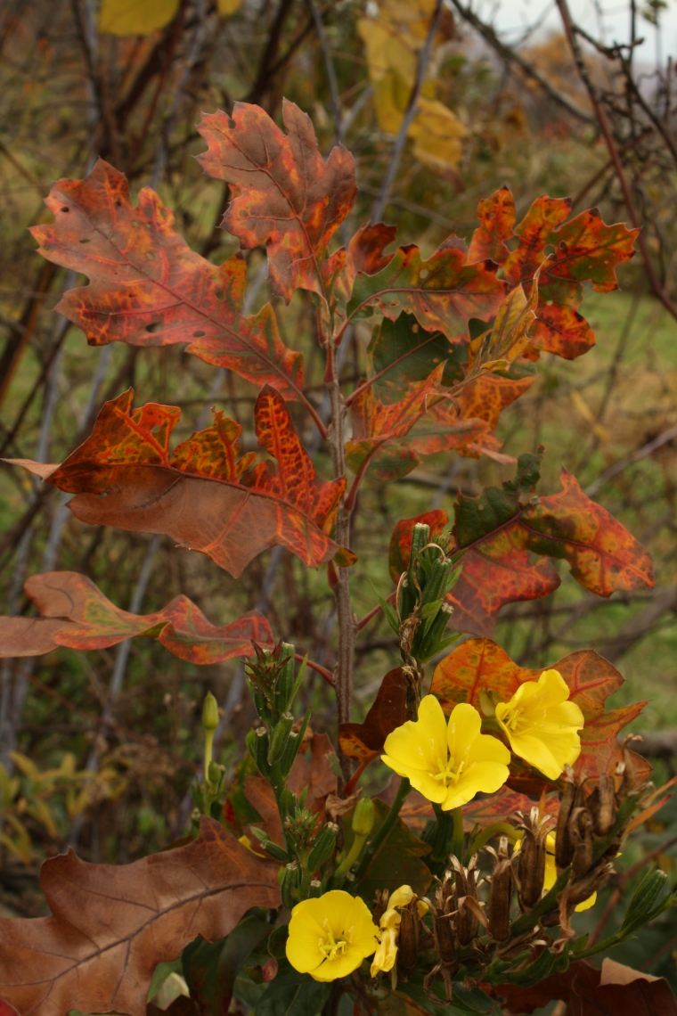 Oaks and Oenothera (evening primrose)