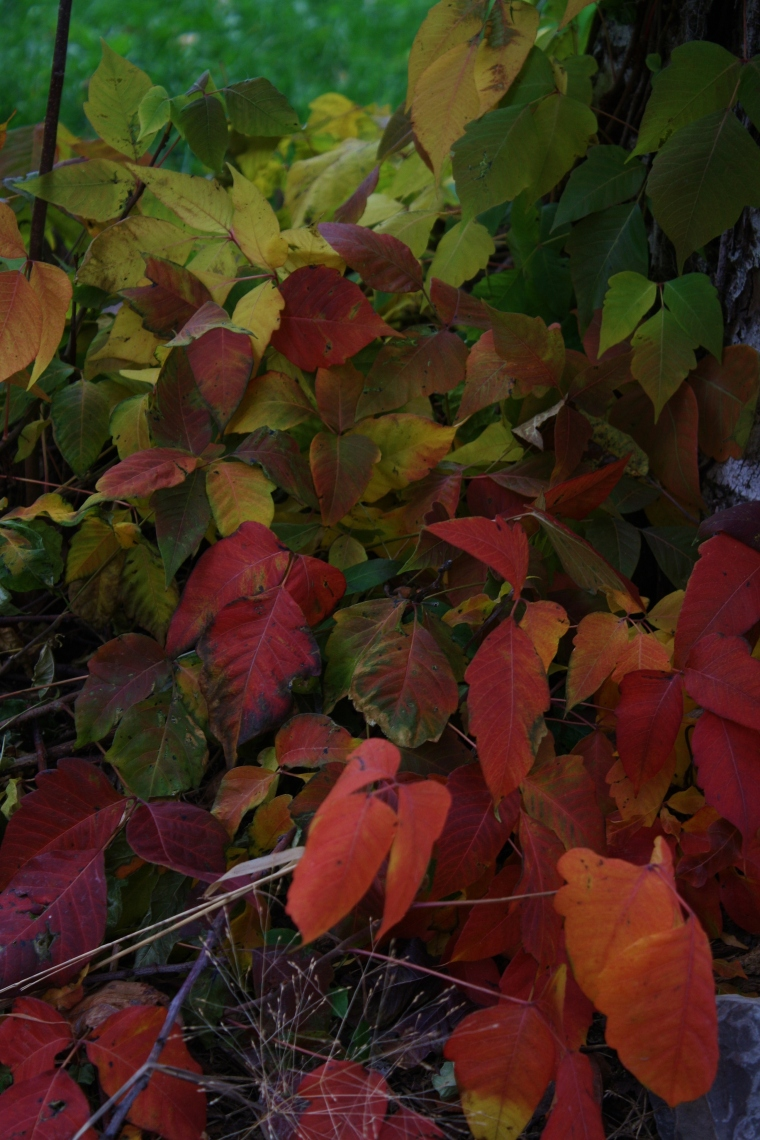 Poison ivy in its pretty autumnal colours