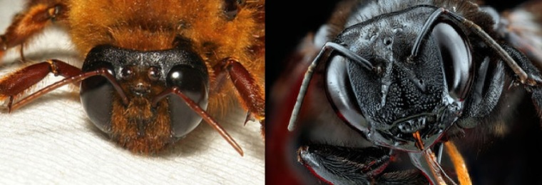 The nocturnal Xylocopa next to a congeneric Xylocopa (sonorina)