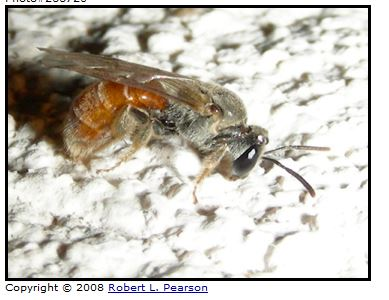 Sphecodogastra sp (Or Lasioglossum subgenus Sphecodogastra, it's a little unclear), nocturnal sweat bees, Arizona, Robert Pearson source